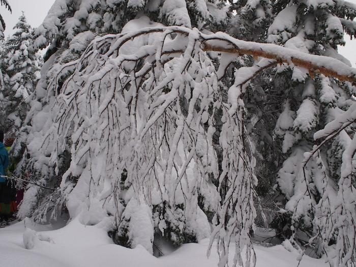 木々が雪で垂れ下がる