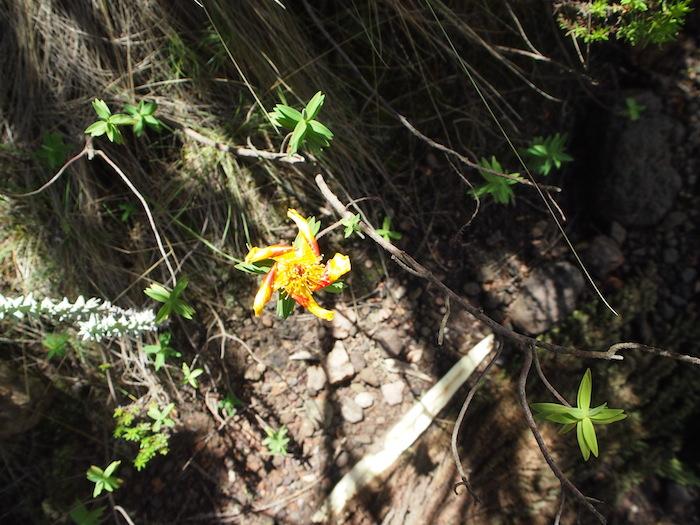 花びらも葉っぱも矢車のようになっていたり