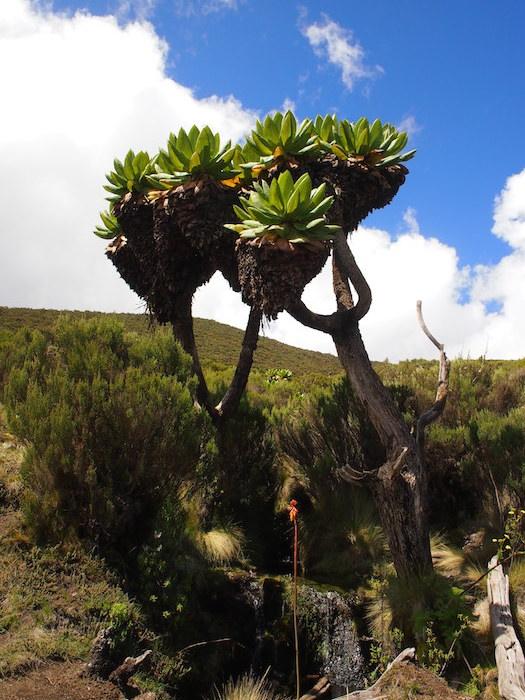 ジャイアントセネシオ。水場によく生えていた大きな木