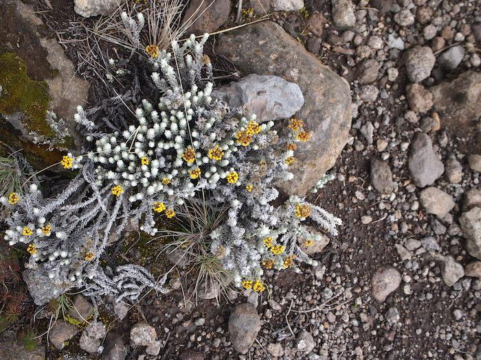 こんな小さな高山植物発見