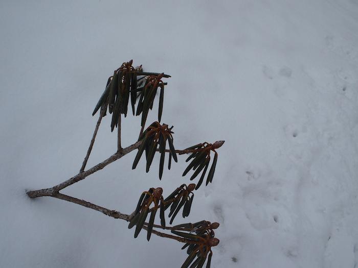 シャクナゲが葉を折り畳んで春を待っていましたよ