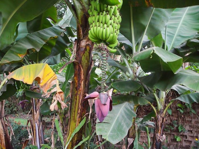 庭にはバナナの花が