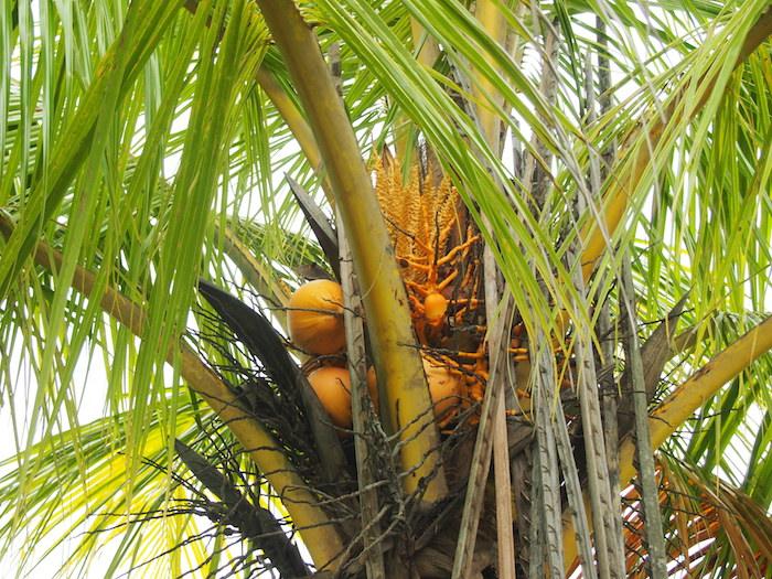椰子の実がみっちり