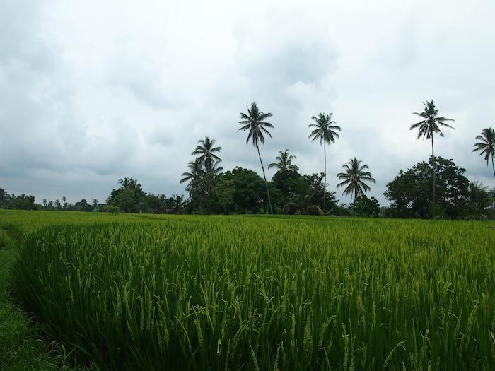 椰子の木が元気。空は泣きそう