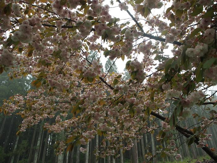 八重桜に戻ってきた。おつかれさまでしたー