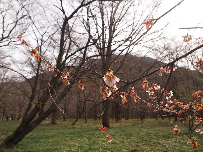 山桜が咲き誇っていました