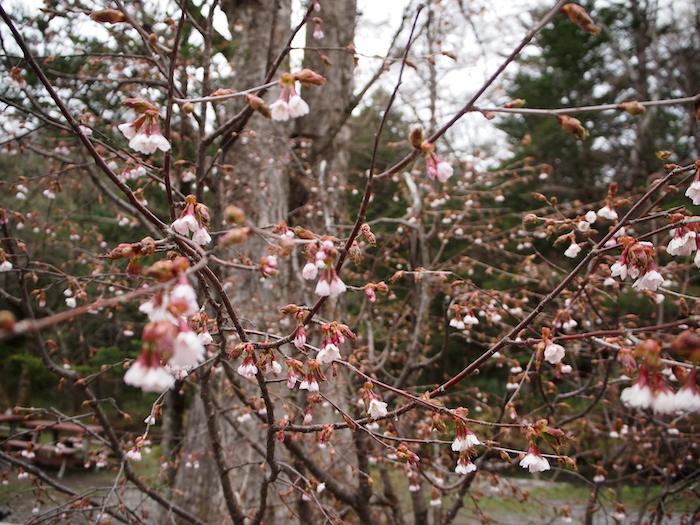 徳沢園の前にあった山桜。こちらも綺麗でした