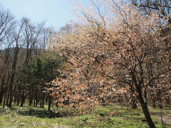 山桜も光があたって輝いている
