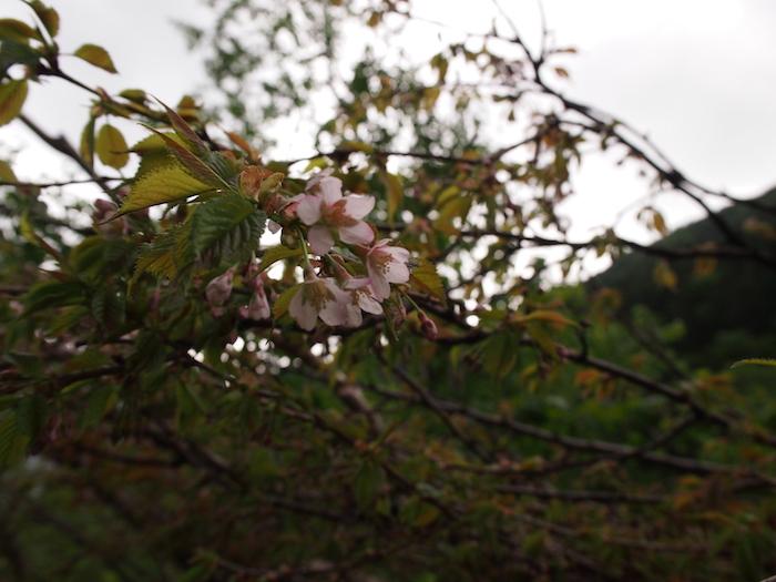 その真上には桜が咲いている不思議