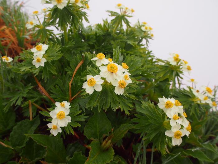 お花に励まされての稜線歩き