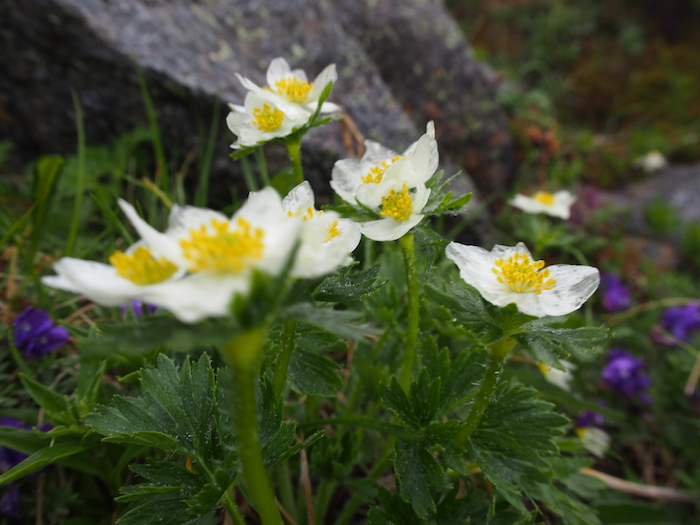 雨の日は白い花びらが透明になって美しいことも知りました