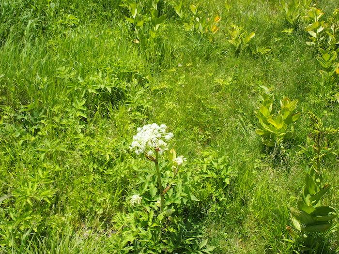 シシウドの花が咲いたところ