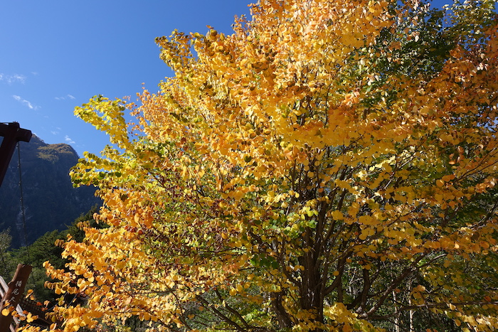 横尾でははっとするほどの黄色い葉っぱが