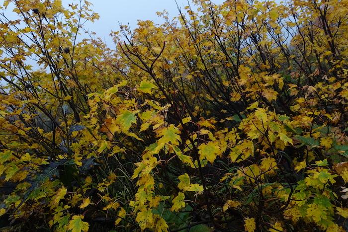 でも黄色と緑が混じった葉っぱはとてもきれい